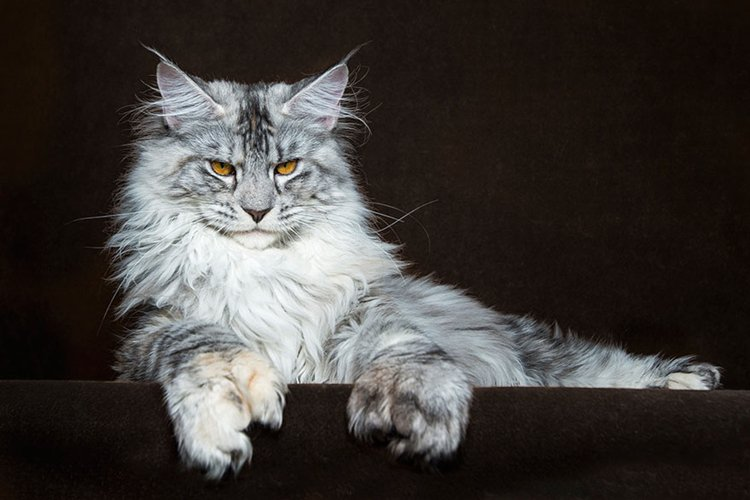maine-coon-cat-grey-white