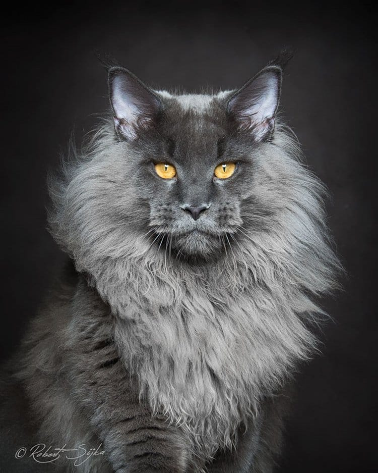 maine-coon-cat-grey