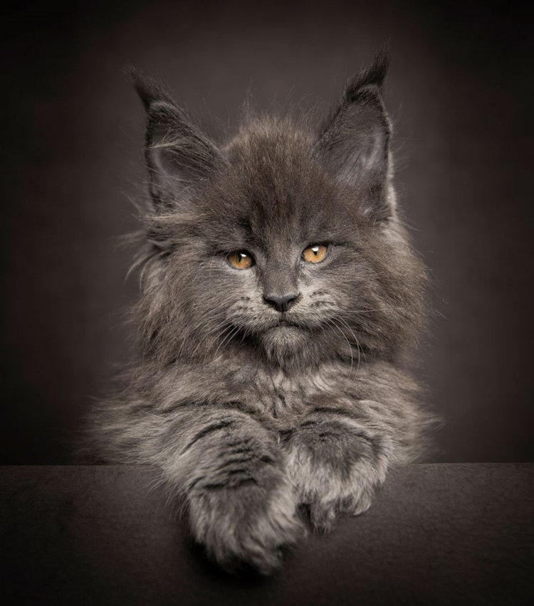 maine-coon-cat-kitten