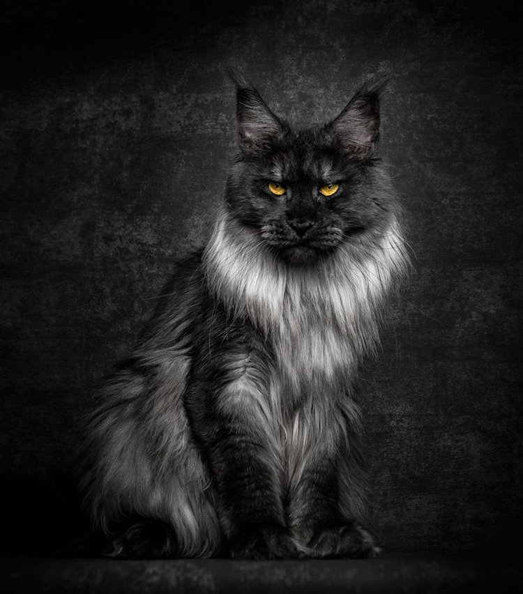 maine-coon-cat-mane