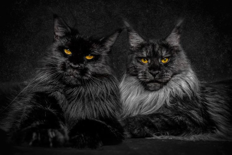 maine-coon-cat-pair