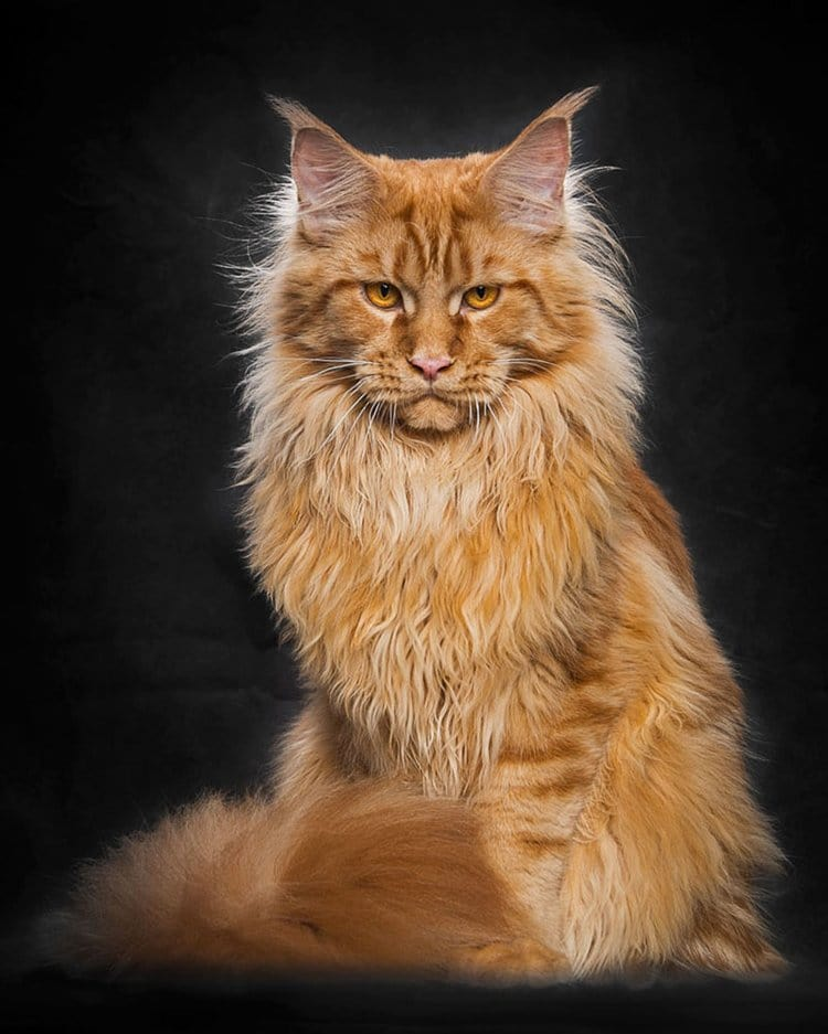 maine-coon-cat-red