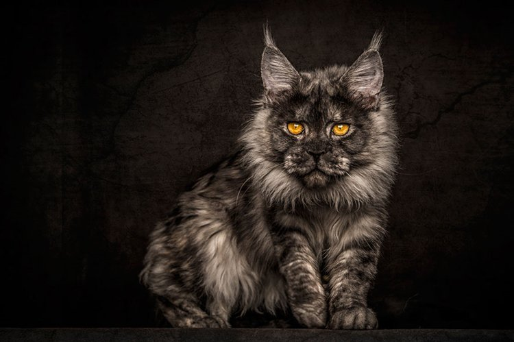 maine-coon-cat-stare