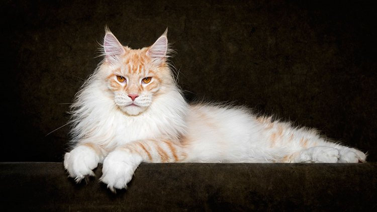 maine-coon-cat-stripes