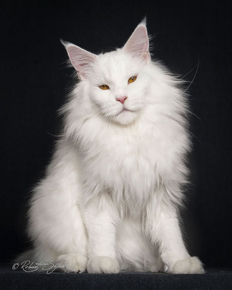 maine-coon-cat-white