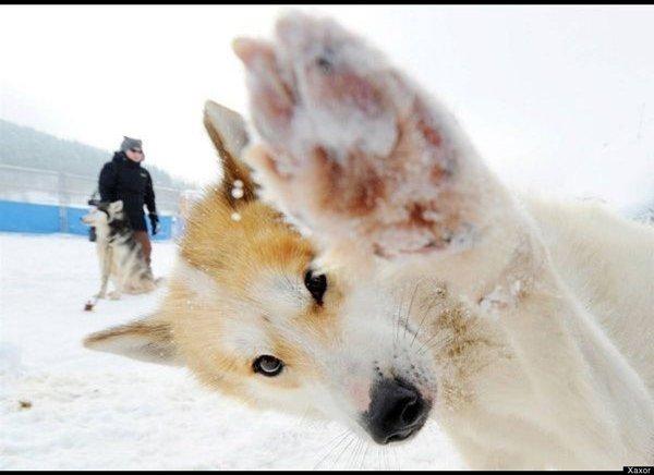 animal-photobombs-husky