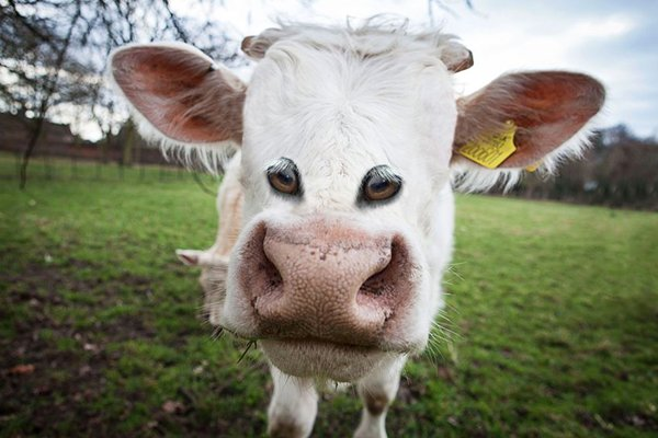 animals-with-eyes-on-front-cow
