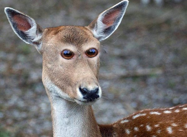 animals-with-eyes-on-front-deer