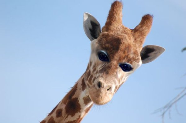 animals-with-eyes-on-front-giraffe
