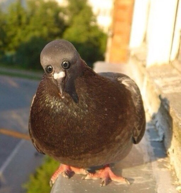 animals-with-eyes-on-front-pigeon