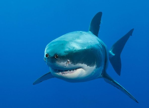 animals-with-eyes-on-front-shark