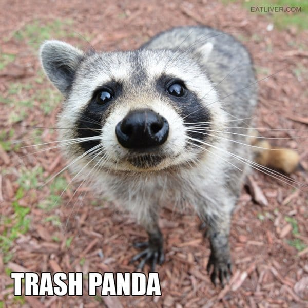alternative-animal-names-trash-panda-raccoon
