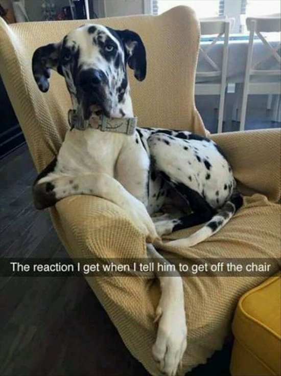 animal-snapchats-great-dane-get-off-chair