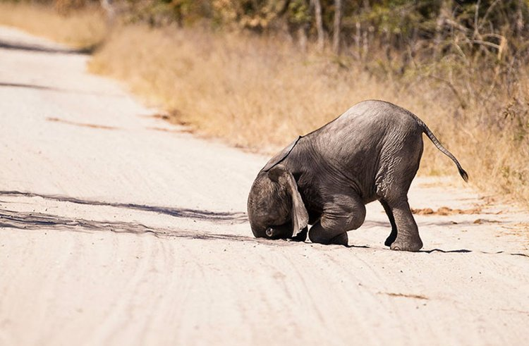 comedy-wildlife-photos-baby-elephant-tantrum
