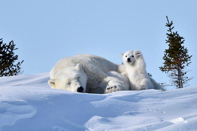 comedy-wildlife-photos-baby-polar-bear-wave