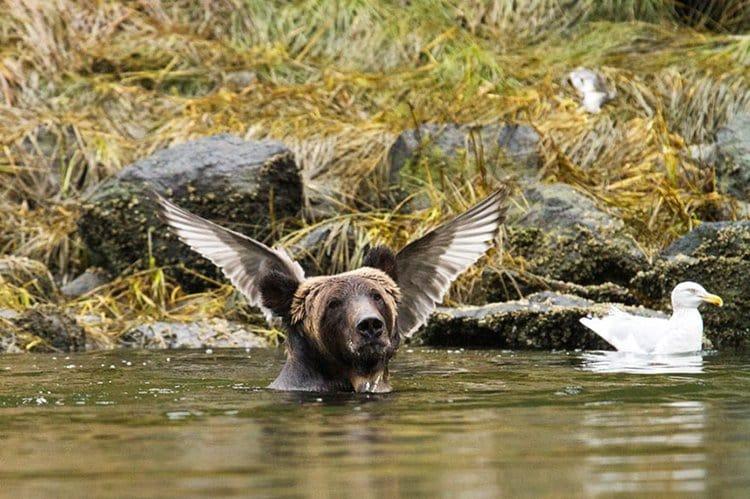 comedy-wildlife-photos-bear-wings