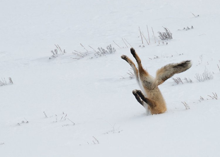 comedy-wildlife-photos-fox-snow