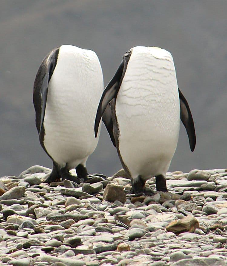 comedy-wildlife-photos-headless-penguins