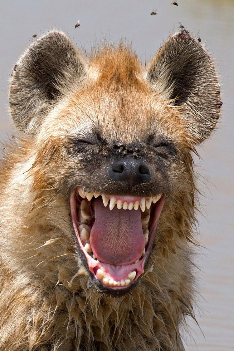 comedy-wildlife-photos-hyena-laughing
