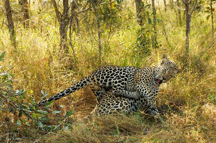 comedy-wildlife-photos-leopard-startled