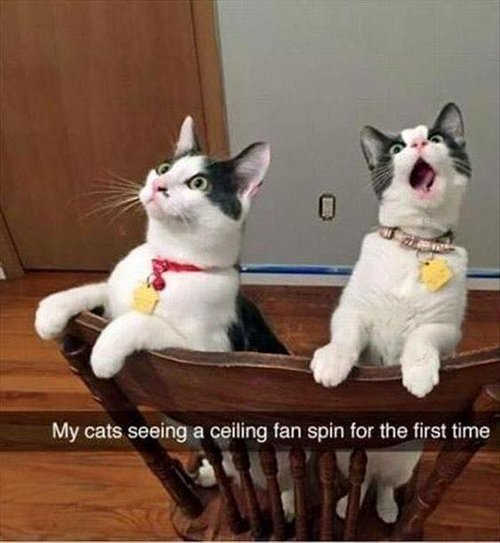 funny-animal-pictures-cats-watching-ceiling-fan