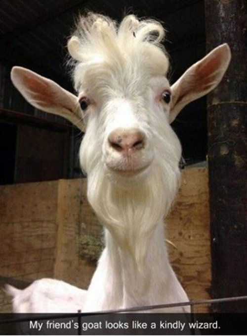 funny-animal-pictures-goat-kind-wizard-dumbledore