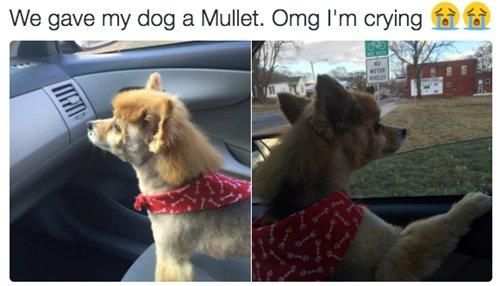 funny-animal-pictures-mullet-dog
