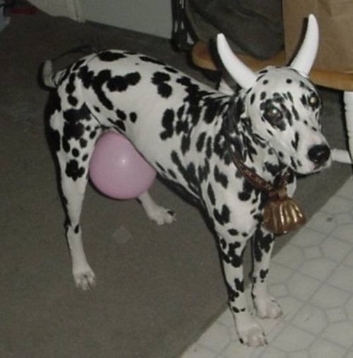 pet-halloween-costumes-dalmatian-cow