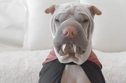 pet-halloween-costumes-sharpei-vampire