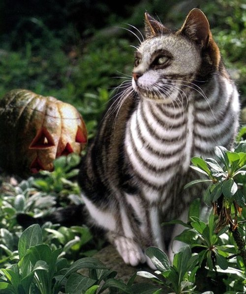 pet-halloween-costumes-skeleton-cat