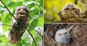 tawny-frogmouth-birds-images