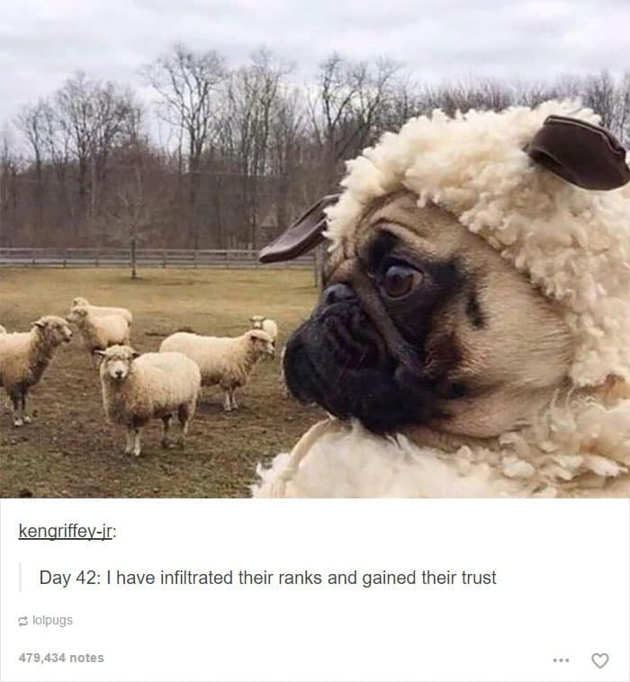 dog-blending-with-sheep
