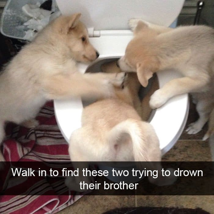 dogs-trying-to-drown-their-brother