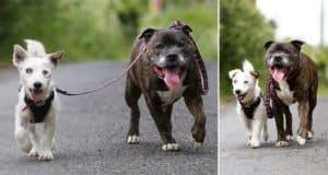 blind-dog-has-his-own-guide-dog-glenn-buzz