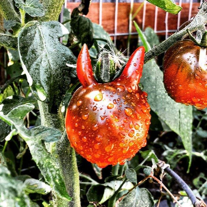 oddly-shaped-fruit-vegetables-satan-tomato