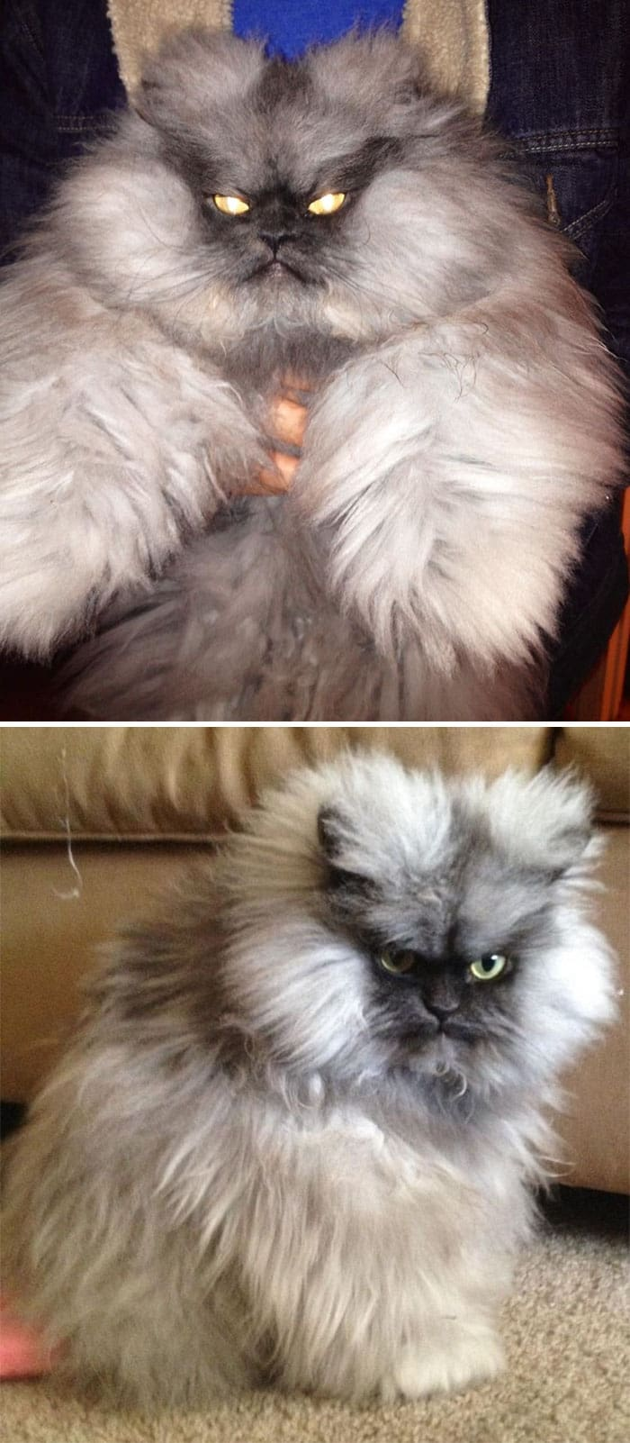 angry cats demon eyes huge fluff