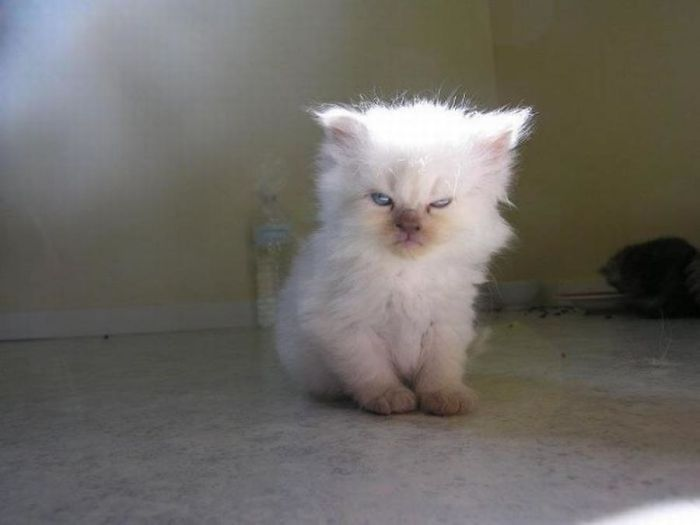 angry cats white kitten
