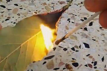 Burn Bay Leaf