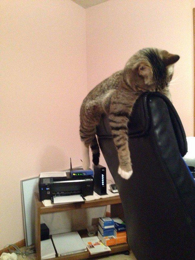 awkward cats sleeping chair back