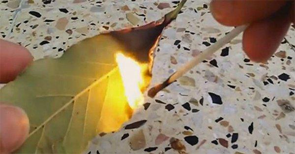 burning bay leaf