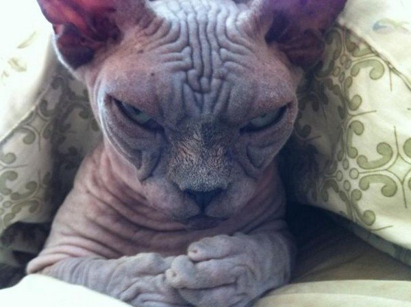 evil cats wrinkly face