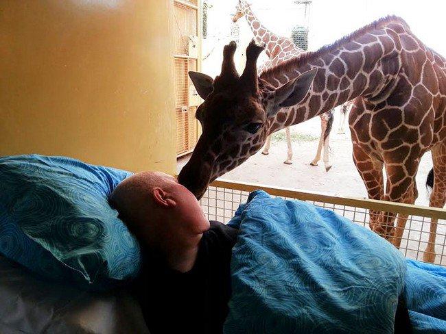 giraffe kissing man