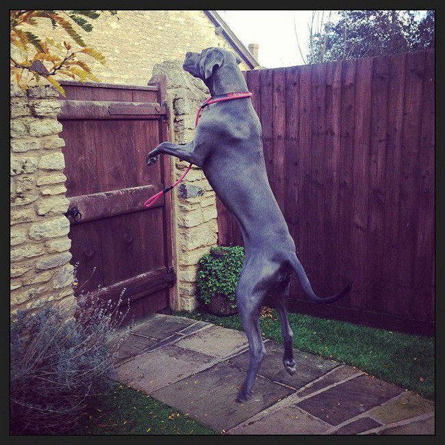 big dog photos great dane jumping