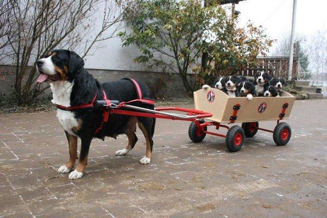 big dog photos pulling puppies cart