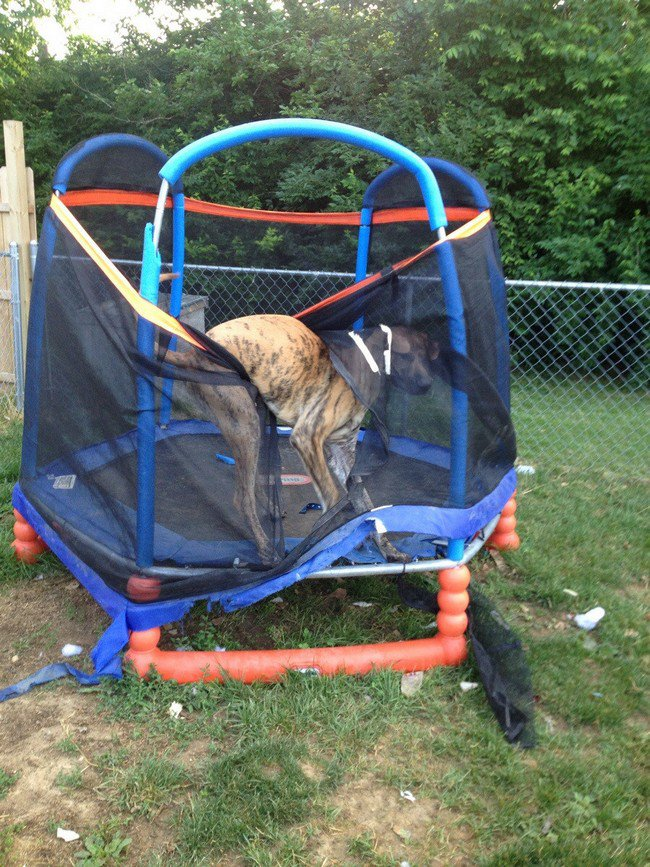 big dog photos stuck trampoline