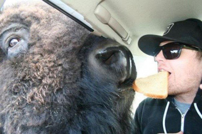 bizarre photos bison man food