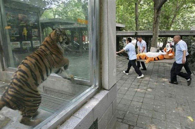 bizarre photos tiger watching tigger