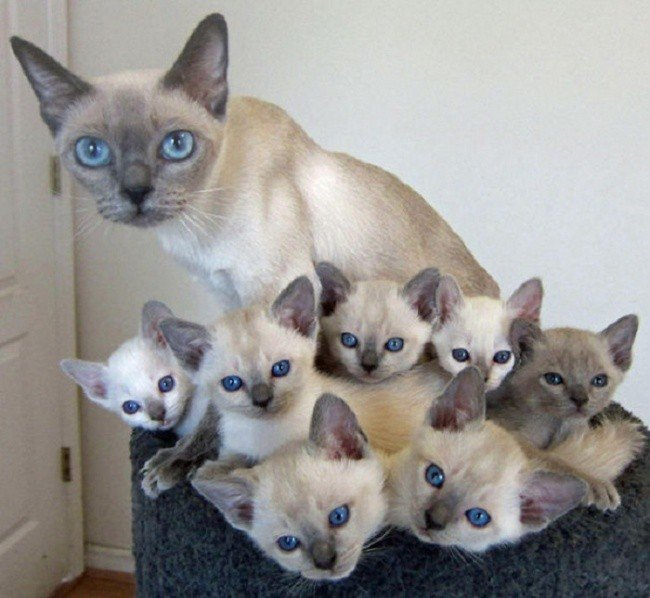 cat parenting photos blue eyed family