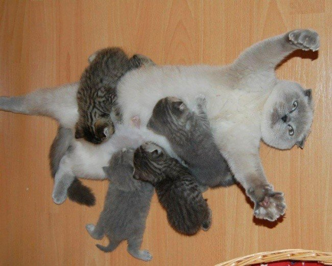 cat parenting photos flat on back kittens