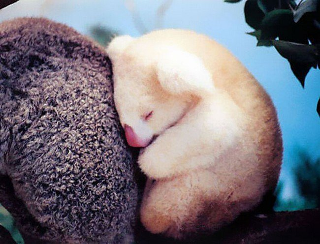 cute baby animals albino koala